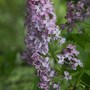 syringa voulgaris/ foto taken in the wild.