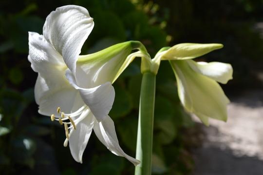 Amaryllis, white (Amaryllis)