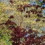 Blood Maple agains White Dogwood Spring