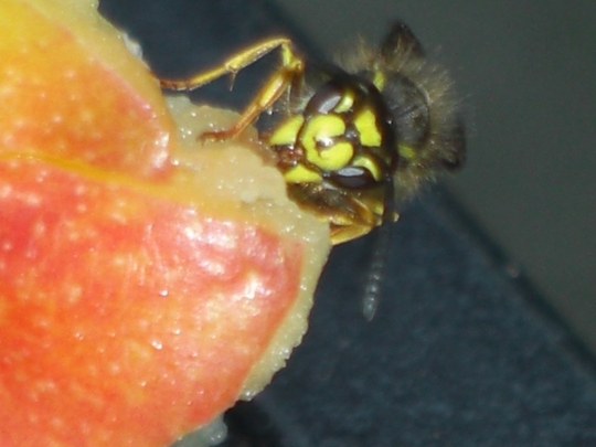 Bee feasting on an apple