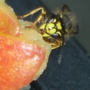 Bee_feasting_on_an_apple
