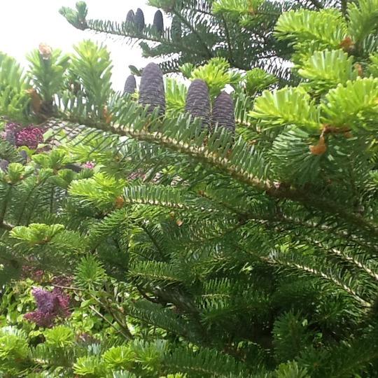 The blue cones forming... (Abies koreana (Korean fir))