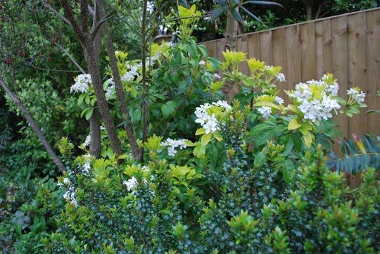 Choisya tenata Brica..... (Choisya ternata (Mexican orange blossom) Brica)