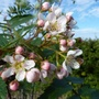 Sorbus cashmiriana blossoms (Sorbus cashmiriana (Kashmir Rowan))