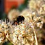A bee in autumn on my Fatsia japonica (Fatsia japonica)