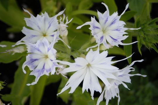 White Phlox (Phlox paniculata (Perennial phlox))