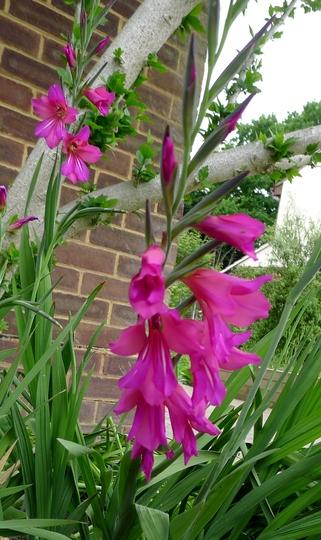 Gladiolus communis subsp byzantinus - 2016 (Gladiolus communis subsp byzantinus)