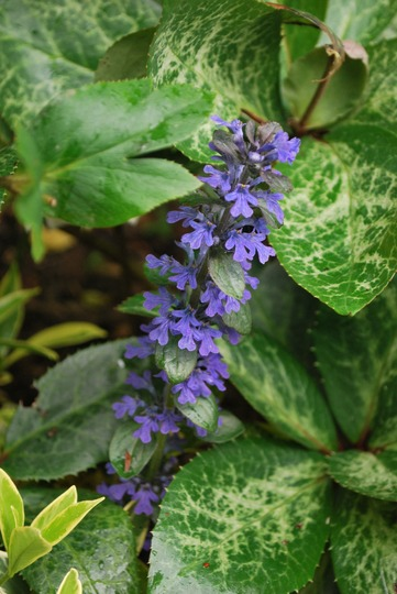 Ajuga flowers..... (Ajuga genevensis (Blue Bugle))