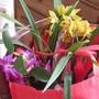 Returning from the flea market... (Dendrobium nobile)