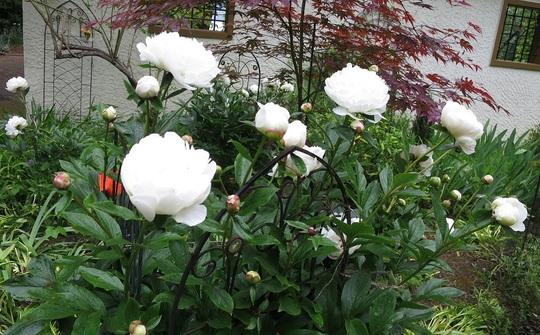 White peonies (Festiva Maxima)