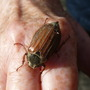 Cockchafer beetle