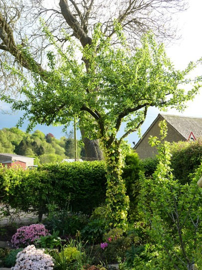 Old Plum Tree with Golden Ivy (Hedera helix 'Buttercup')