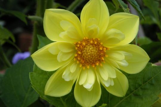 Yellow Dahlia (Dahlia Pinnata (Dahlia))