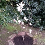New Magnolia soulangiana in back garden.