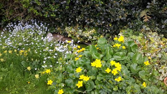 Marsh Marigolds by Pond.