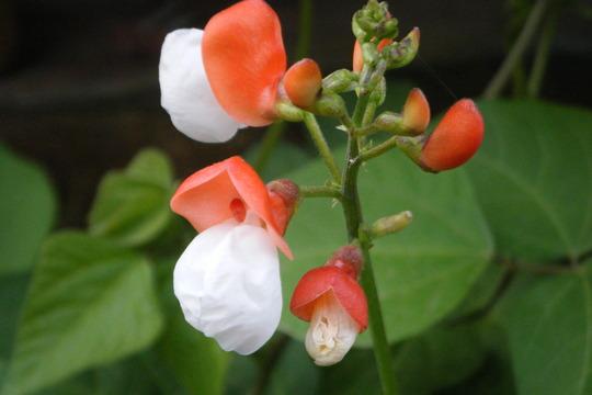 Runner bean 'painted Lady' (Phaseolus coccineus (Runner bean))