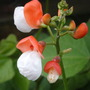 Runner bean 'painted Lady' (Phaseolus coccineus (Runner bean))