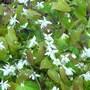 Epimedium x youngianum 'Niveum' (Epimedium acuminatum (Barrenwort))