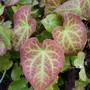 Epimedium foliage (Epimedium x perralchicum (Barrenwort))