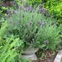 Spanish (French) Lavender( Lavandula stoechas ) (Lavandula stoechas)