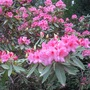 Large_pink_rhododendron1