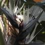 Strelitzia nicolai - Giant Bird-of-Paradise