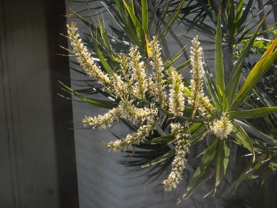 Dracaena marginata -  Dragon Tree Flowering (Dracaena marginata -  Dragon Tree)