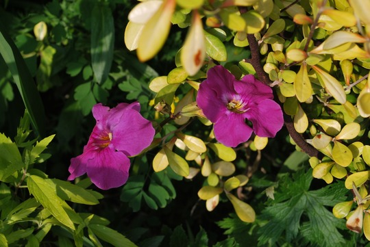 Incarvillea and Corokia......dark green attractive foliage with mauve flowers. (Incarvillea delavayi)