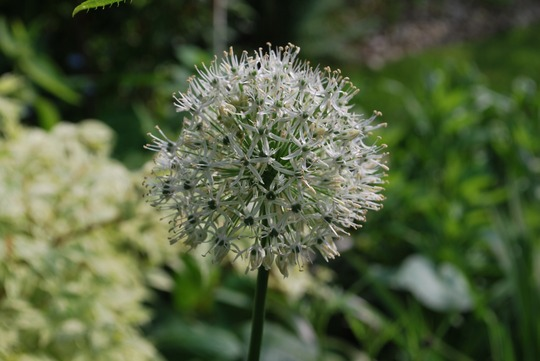 Allium Nigrum (Allium nigrum (Black Garlic))