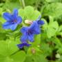 For Bathgate . . Buglossoides purpurocaerulea