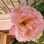 New rose bush purchased