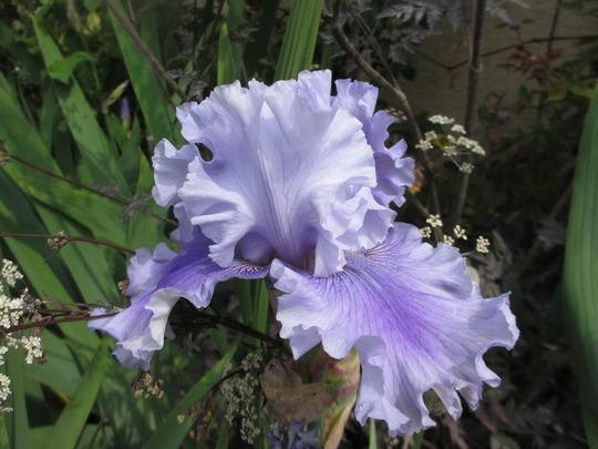 Tall Bearded Iris 'Ascent of Angels' (Iris germanica (Orris))