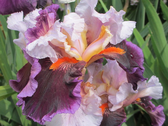 Tall bearded Iris 'Tomorrow's Child' (Iris germanica (Orris))