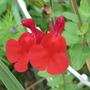 Salvia x jamensis 'Hotlips'