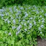 Amsonia ciliata at Oxford Botanic Garden (Amsonia ciliata)