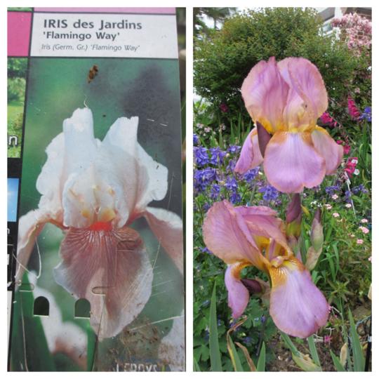 Not 'Flamingo Way' (Iris germanica (Orris))