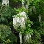 Wisteria floribunda 'Alba' - 2016 (Wisteria floribunda)