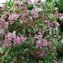 Weigela variegata..... (Weigela floribunda variegata...)