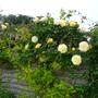 Climbing Rose  'Arthur Bell'