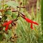 Salvia gesneriiflora (Salvia gesneriiflora)