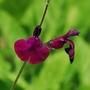 "Salvia ""Nachtvlinder"" (Salvia greggii x microphylla)"