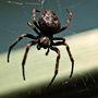 Black_spider_4