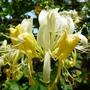 Lonicera_periclymenum_.scentsation_.2