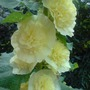 Yellow_hollyhocks
