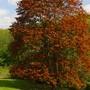 A friend's beautiful Maple Tree.