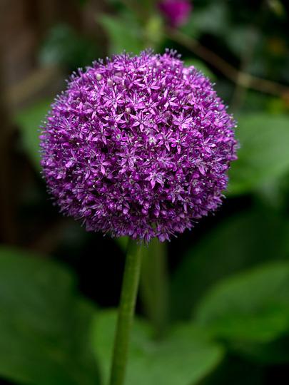 Allium Ambassador (Allium acidoides)