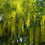 laburnum Tree   (Laburnum x watereri (Golden rain))