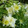 Aquilegia cream/yellow