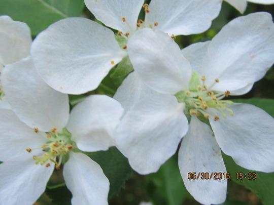 Apple Blossom's sweet aroma