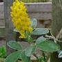 Argyrocytisus_battandieri_yellow_tail_2016